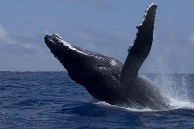 Talk_humpback_whale