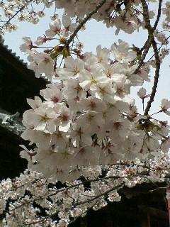 粉河寺で花見